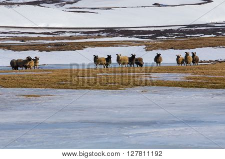 Sheep farm in winter with mountain snow coved, nature landscape, Iceland