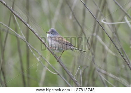 Whitethroat bird perched on a reed in the undergrowth