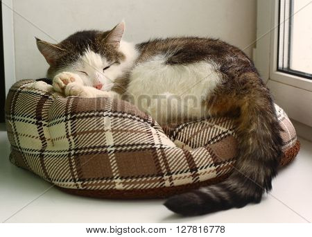 siberian adult tom cat sleep in pet bed close-up photo