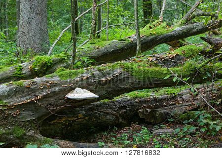 Broken Old Hornbeam Tree With Polypore Fungus