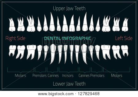 Adult international tooth chart. Vector illustration. Editable image in neon colors on a black background. Human teeth infographic. Health dental care design. Poster or leaflet template