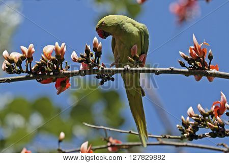 Noisy grumpy Rose-ringed parakeet among Flame of the Forest tree blossoms on an otherwise beautiful morning.