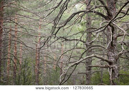 Forest in Los Ports de Beceite. Teruel province