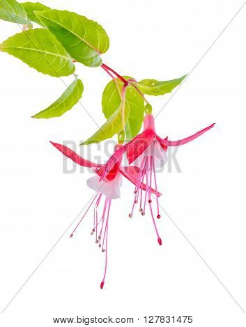 Beautiful Blooming Branch Of Red And White Fuchsia Flower Is Isolated On Background, , `shadow Dance