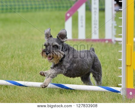 Miniature Schnauzer Leaping Over a Jump at Dog Agility Trial