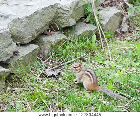 A Chipmunk perched in the green grass by a stone wall.