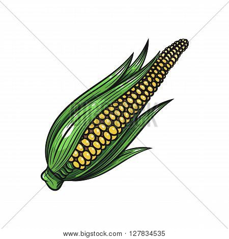 Vector corn illustration. Corn isolated on white background. Vector sketch hand drawn - stock vector