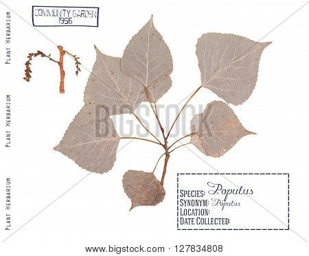 Herbarium of pressed parts of poplar tree. Branch leaves and inflorescence isolated on white.