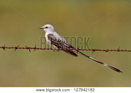 Scissor-tailed flycatcher also known as Texas Bird-of-Paradise perched on barbed-wire.