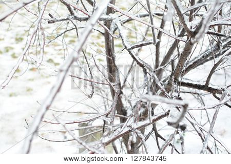 A multitude of ice encased tree branched during winter.