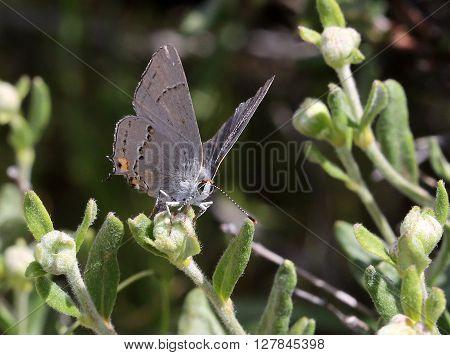 Gray Hairstreak Butterfly (Strymon melinus) on Buckwheat