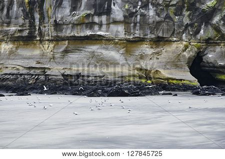 Gannets on Muriwai Beach seen against an imposing cliff smoothened by years of erosion