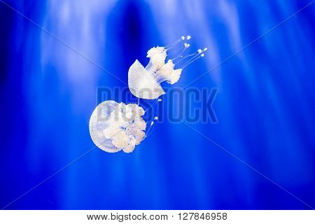 Two Phyllorhiza Punctata, The Australian Spotted Jellyfish