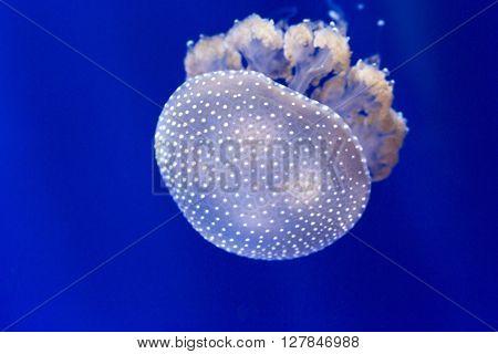 Detail Of Australian Spotted Jellyfish, Phyllorhiza Punctata