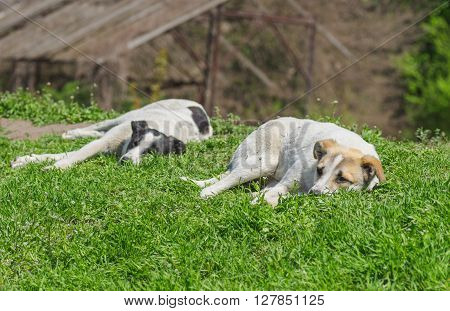 Pair of stray dogs relaxes under warm spring sun