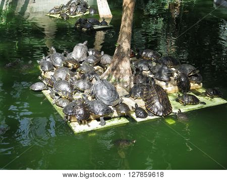 Group Of Red Eared Slider Turtles