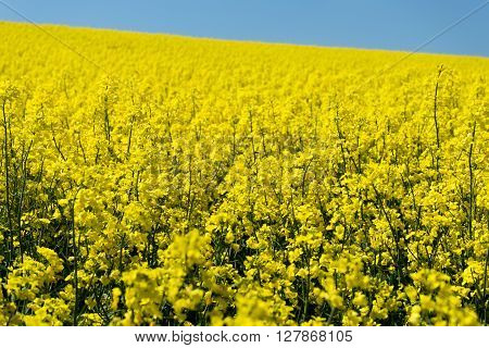 Oilseed Rape agriculture plants in bloom to produce oil