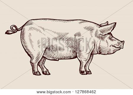 Sketch pig, pork. Hand drawn vector illustration