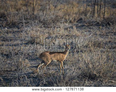 Small Dik-dik antelope pausing to look. Etosha national park Namibia Africa