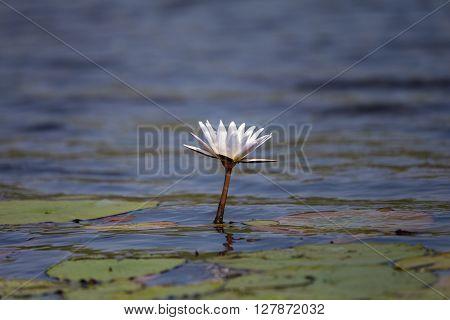 Lone water lily in the Okavango delta.