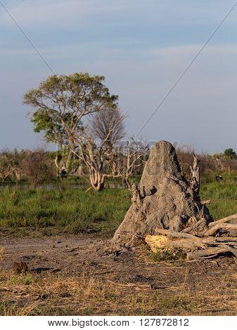 Termit mound at the Okavango Delta in Botswana Africa.