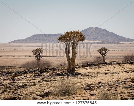 Three isolated Quiver tree Aloe Dichotoma with montain in the background. Namibia. Africa.
