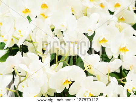 Bunch of fresh white  orchid flowers   background