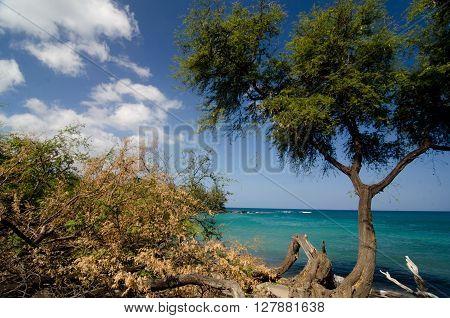 Heliotropes And Ironwood Trees At Puako Beach - 2