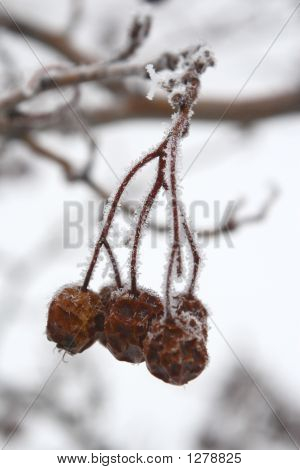 Russian Hawthorn Berries