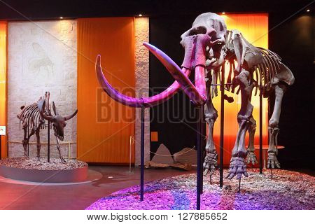 PERM RUSSIA - APR 4 2015: Illuminated mammoth Skeleton in Museum of Local History