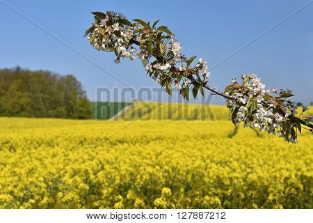 Beautiful blooming fruit tree branch. Yellow flowering fields ground road and beautiful valley nature spring landscape. (Brassica napus) (Brassica napus)