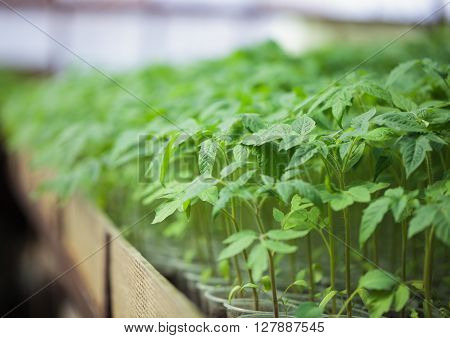 Rows of green plant seedlings in greenhouse. Cultivated young sprouts in rich soil were grown under the sun in glasshouse macro close up with shallow depth of field and no models