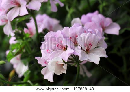 There are very many kinds of Geraniums flowers