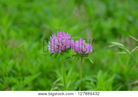 Pink clover during flowering - flowers in spring