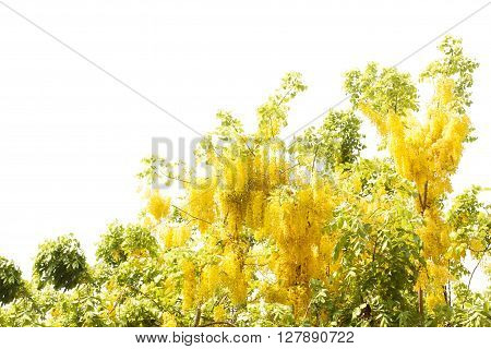 yellow Golden shower Cassia fistula flower isolate on white background