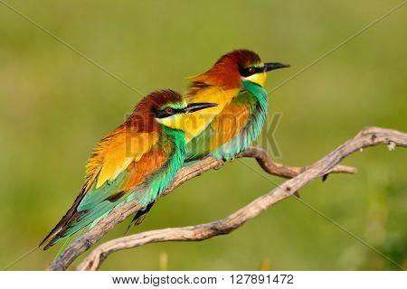 Pair Of European Bee-eater (merops Apiaster).