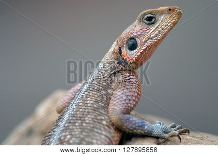 Agama Lizard Mwanzae sitting on a rock in the savanna, photographed in Kenya