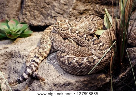 Dangerous rattlesnake on a stone in zoo