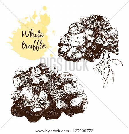 White truffles group isolated on white. Hand drawn graphic  illustration in sketch style