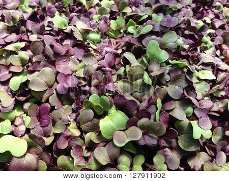 A close-up of radish microgreens, with purple and green leaves