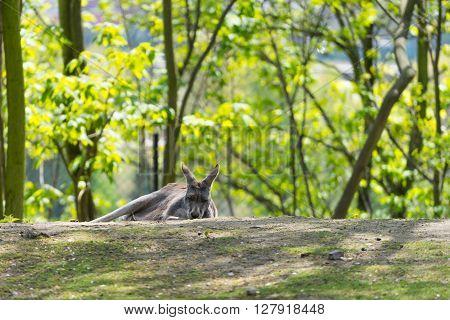 Sleeping kangaroo. Kangaroo lying on ground. Green bright nature background. Bright trees and lying kangaroo. Grey kangaroo.
