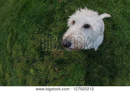 Labradoodle Looks at Camera with Fisheye Lens on field of grass