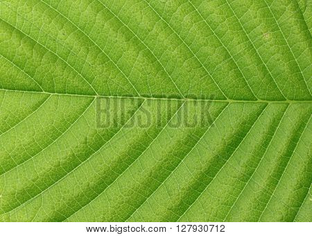 Green leaf texture. Green leaves background. Green leaf macro