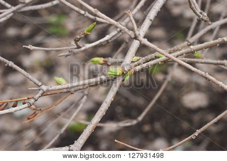 The first spring gentle leaves buds and branches on a brown background