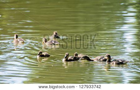 Group Of Little Mallard Ducklings – Anas Platyrhynchos – In The Water