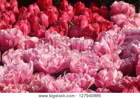 Group of red and pink tulips in full bloom