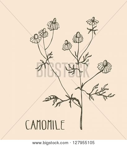 Hand drawn camomile. Vector illustration of medical herb camomile. Packaging design element