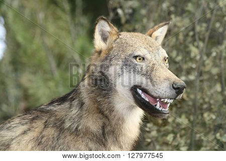 wolf animal predator mammal faun forest dog savage poster