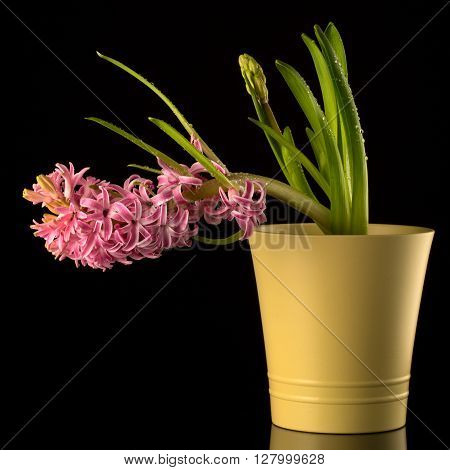 Window plant in a cache-pot on a black background