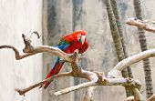A bright red macaw parrot sitting on a branch. poster